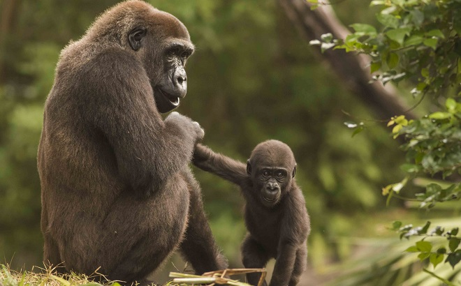 Adult gorilla holding the hand of a baby gorilla