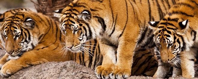 Three adult tigers