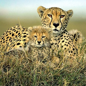 An adult cheetah and a baby cheetah sitting in grass