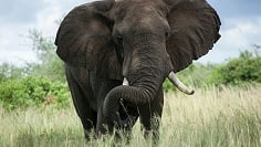 Elephant outside in grass field