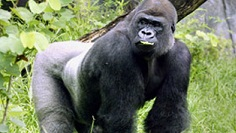 Gorilla outside in greenery