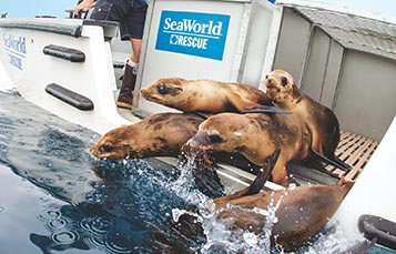 SeaWorld Sea Lion Release