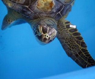Lederhosen, an endangered sea turtle rescued, rehabilitated by teams at SeaWorld Orlando and Busch Gardens Tampa, and released back to the ocean.