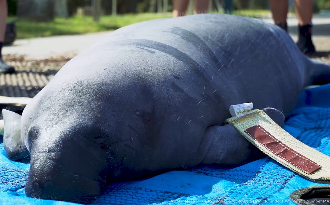 Rescued & Released by SeaWorld - Bingley the Manatee