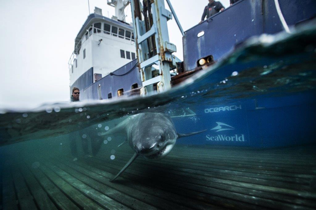 Shallow Water Platform for Shark Ultrasound