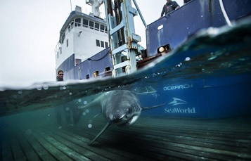 Molly Martony aboard an expedition with OCEARCH working with sharks