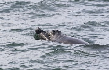 An Endangered North Atlantic Right Whale Calf