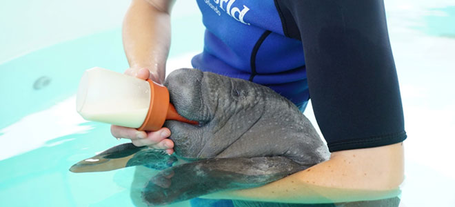 SeaWorld Rescue Team nursing a baby manatee