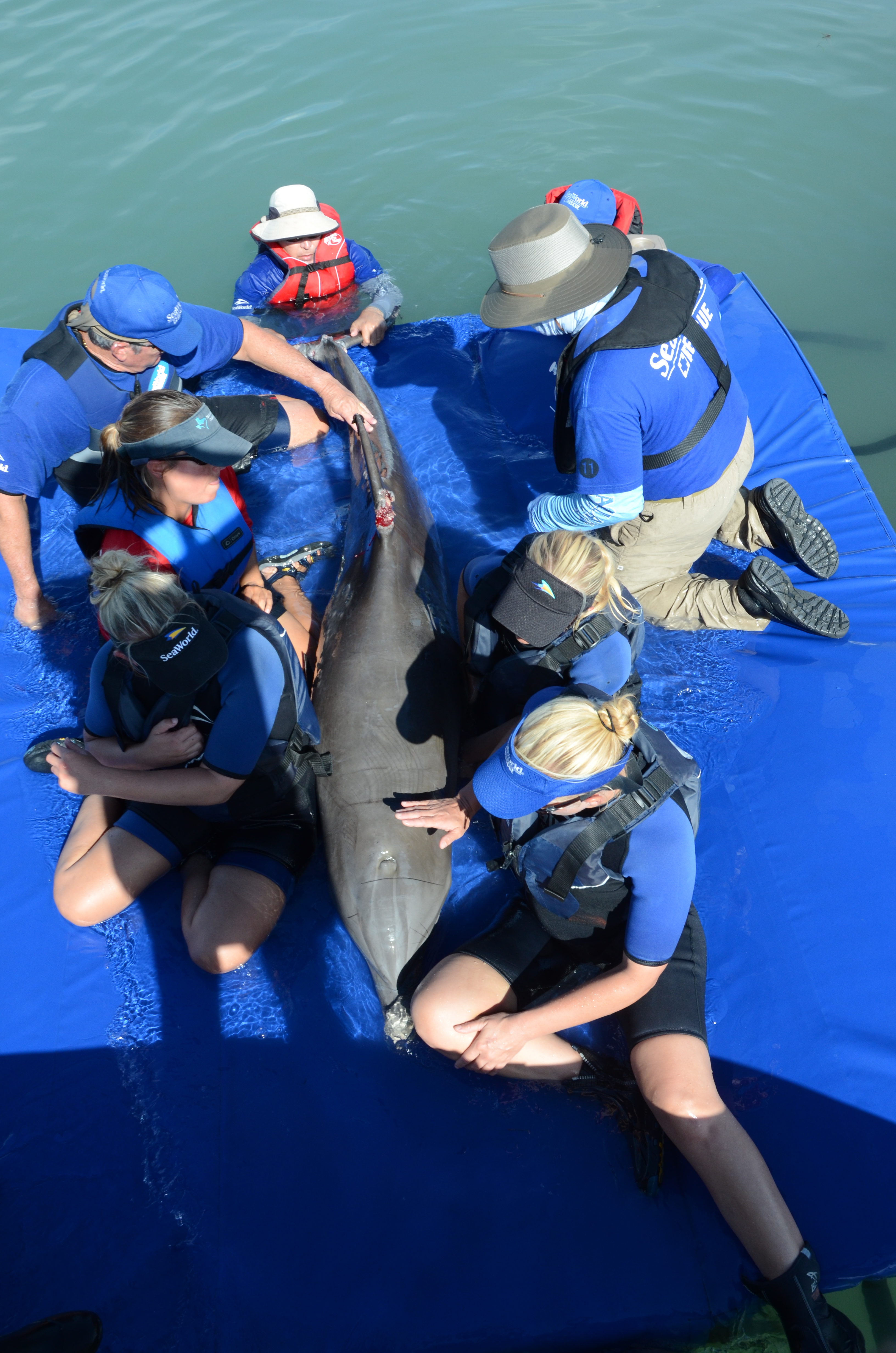 SeaWorld's Florida and Texas Rescue Teams Join Forces to Save Entangled Dolphin