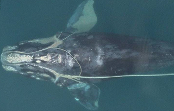 You can see an entangled North Atlantic right whale swimming with fishing trap rope around both flippers, through its mouth, and dragging behind it.