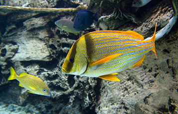 Yellow fish in the ocean