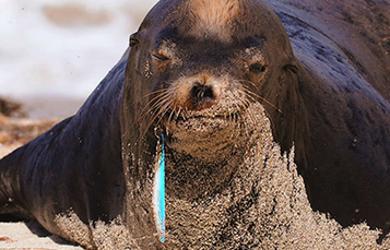Sea lion with debris stuck in its mouth