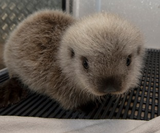 Cinder the baby sea otter