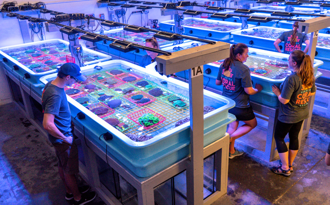 Researchers at the Florida Coral Rescue Center