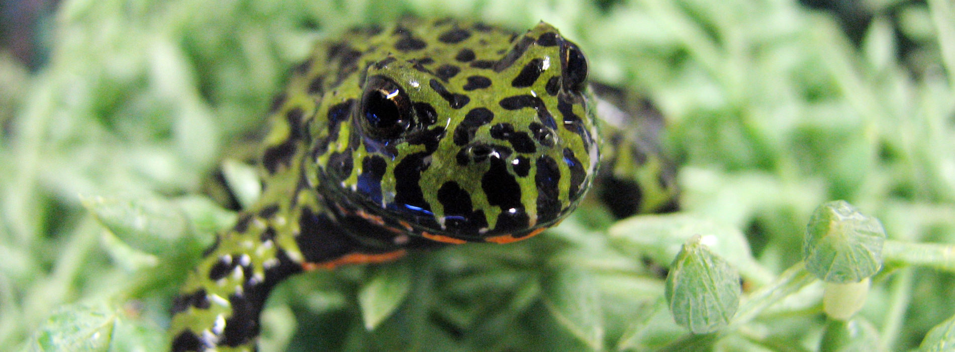 Oriental Fire Bellied Toad hiding in aquatic green plant