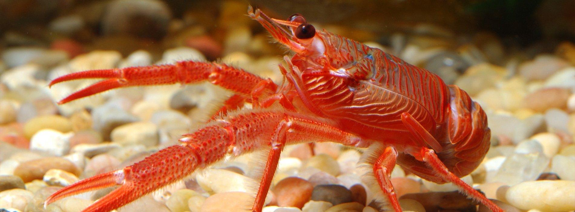 Reef Lobster