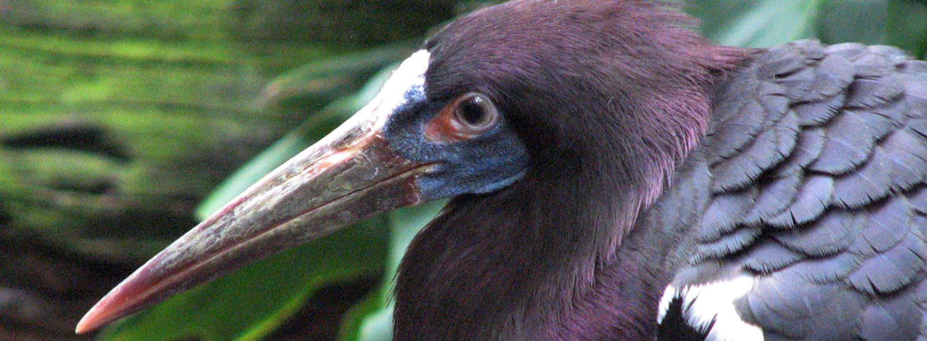 Abdim's Stork