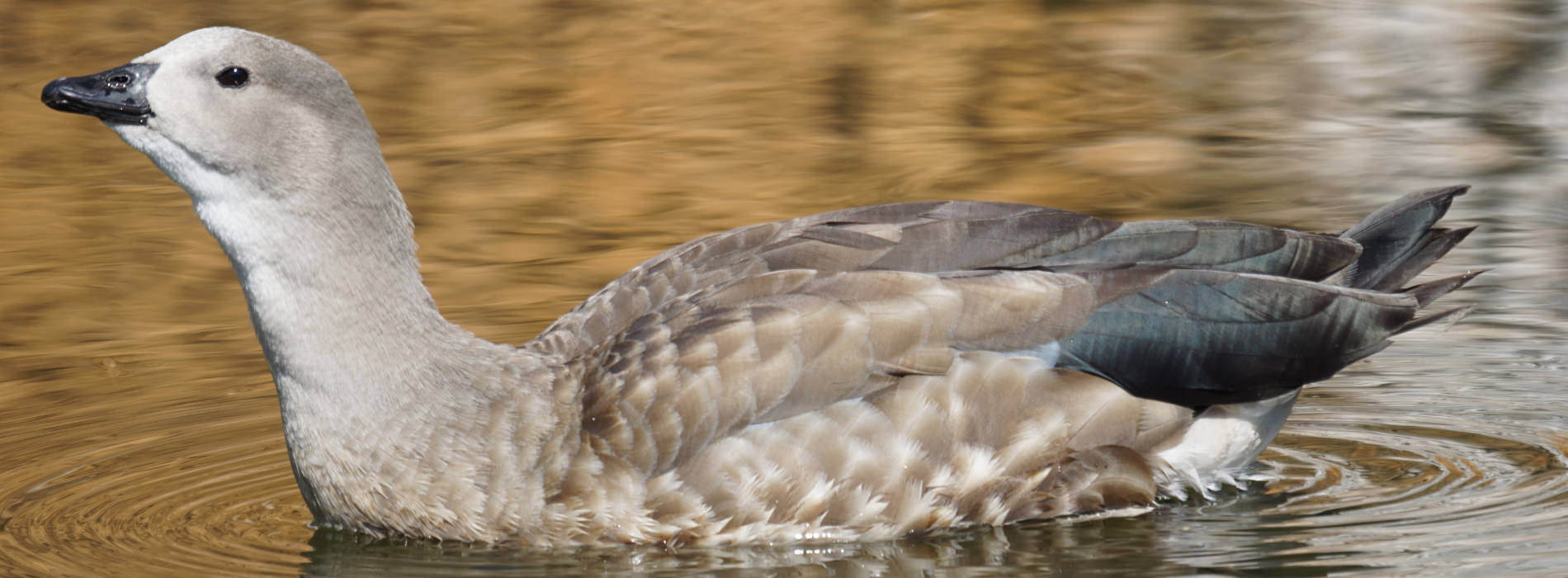 Abyssinian Blue-Winged Goose