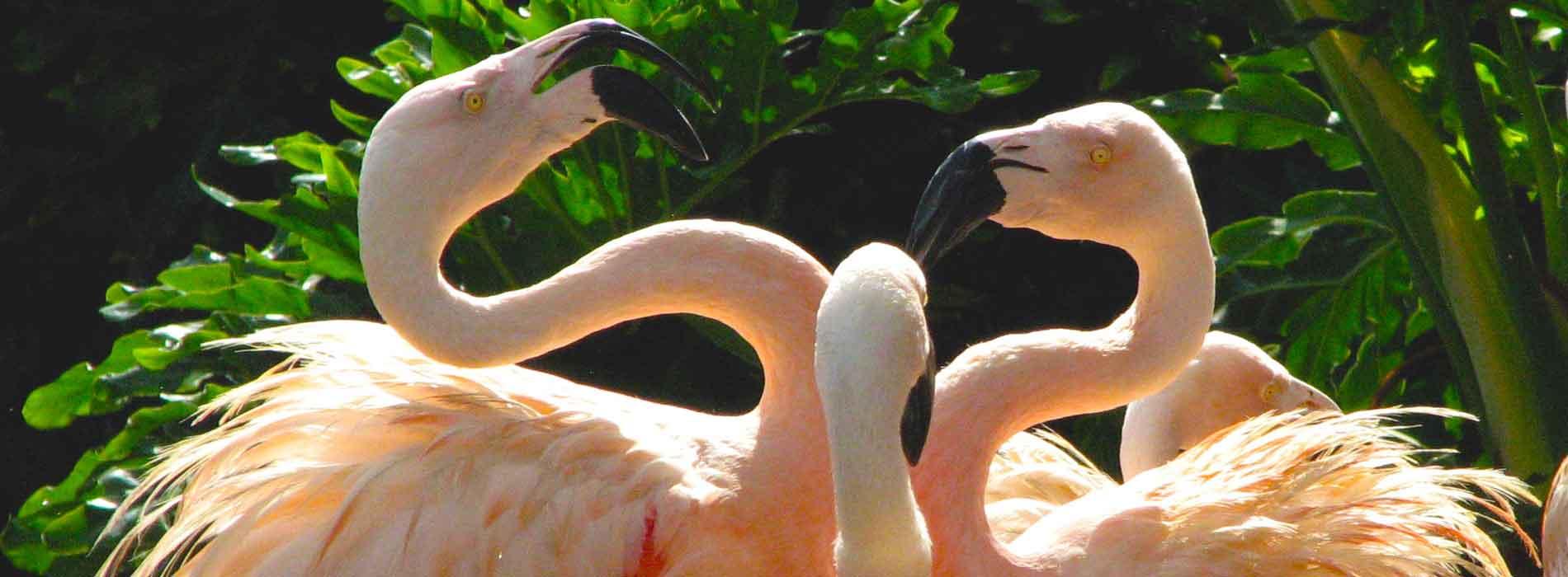 Three Chilean Flamingos