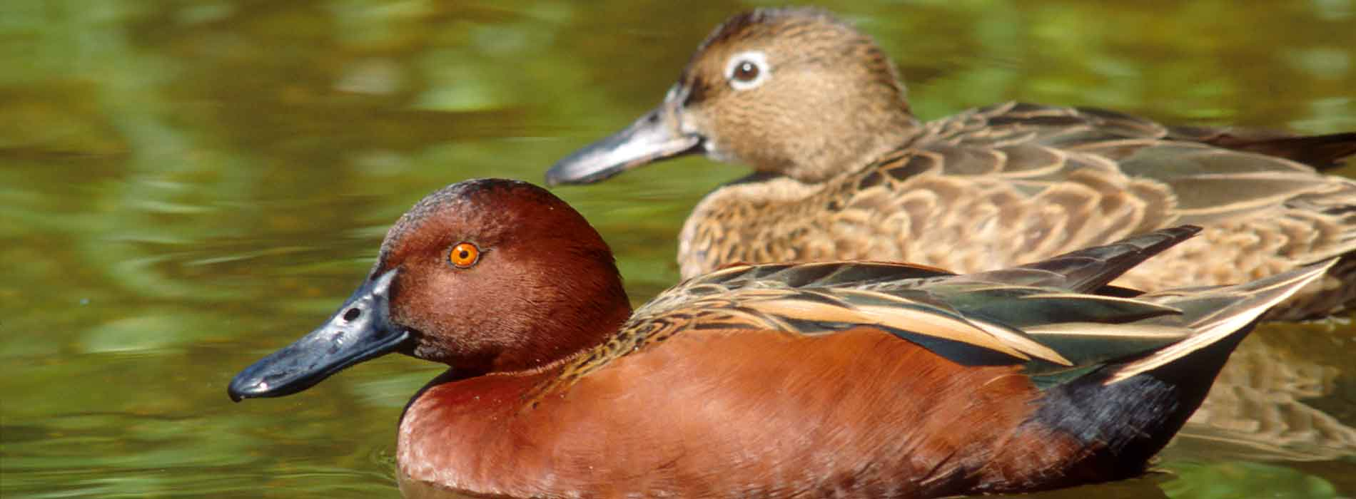 A cinnamon teal on the surface of the water with foliage in background