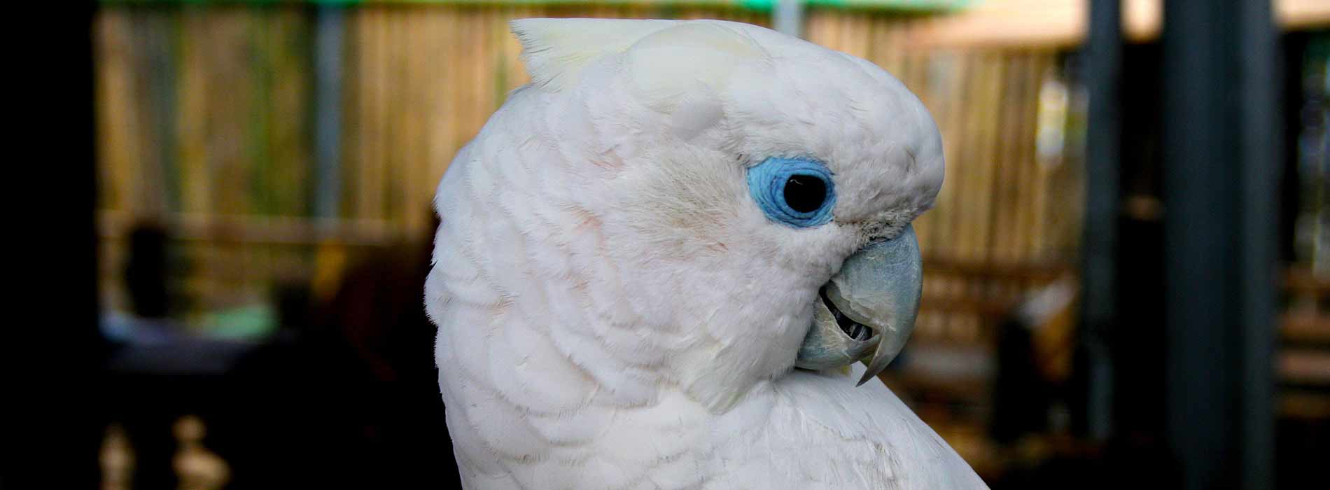 Ducorp's cockatoo