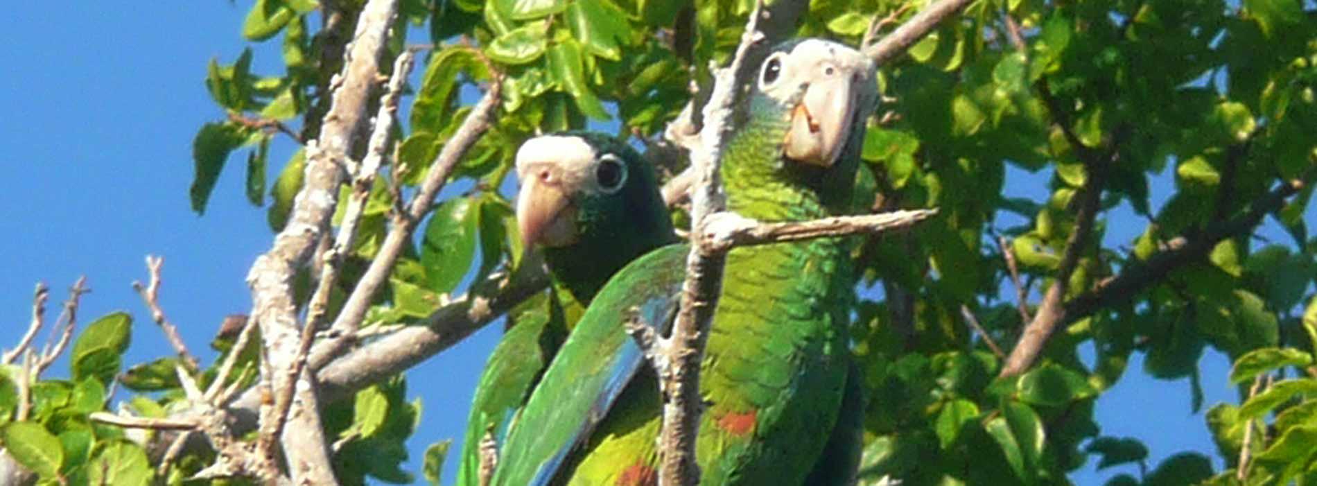 Hispaniolian Amazon parrot