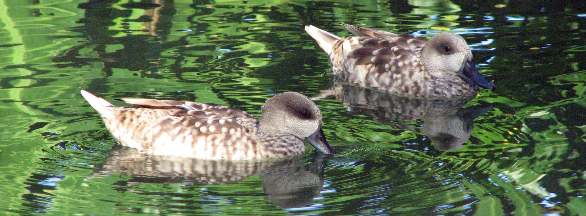 Marbled Teal