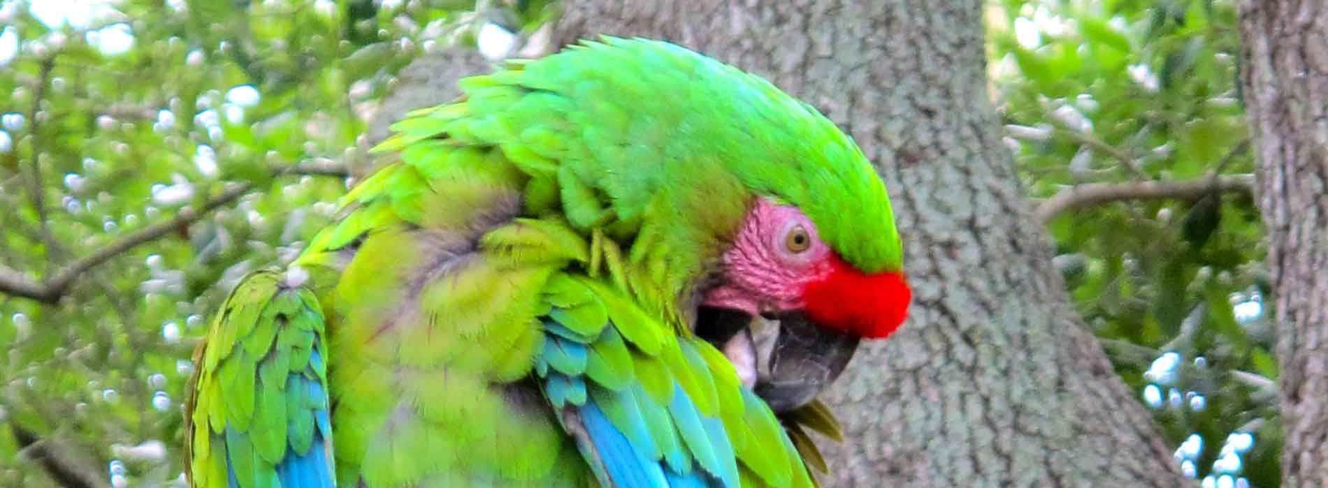 Mexican Military Macaw