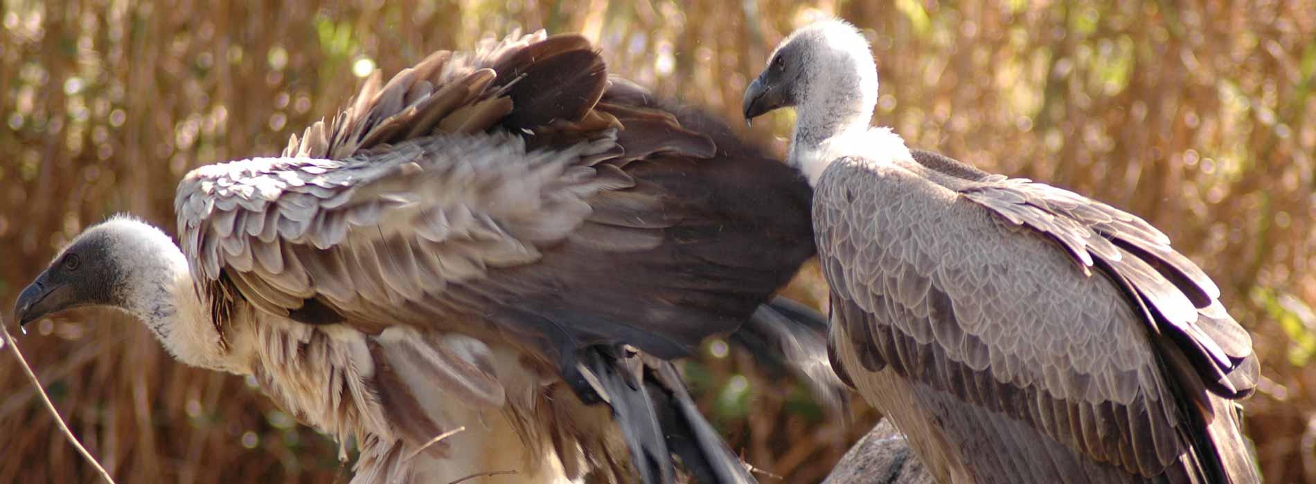 Old World Vultures