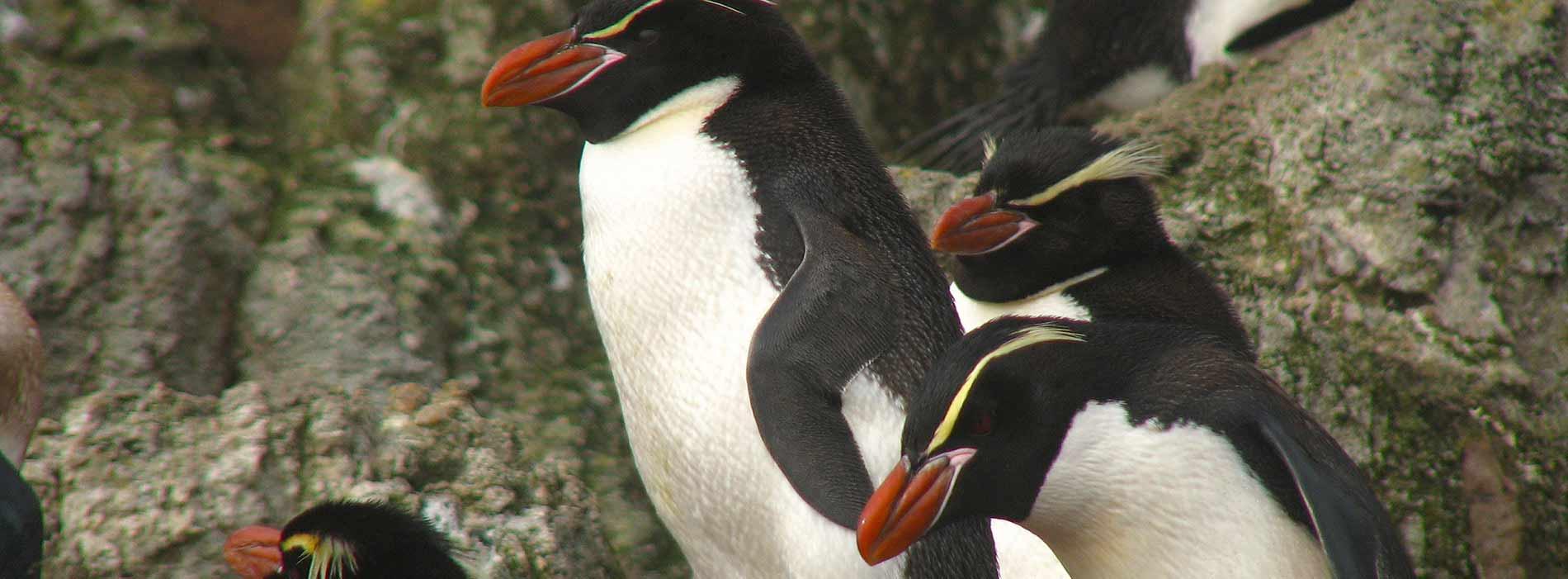 Snares Island penguin
