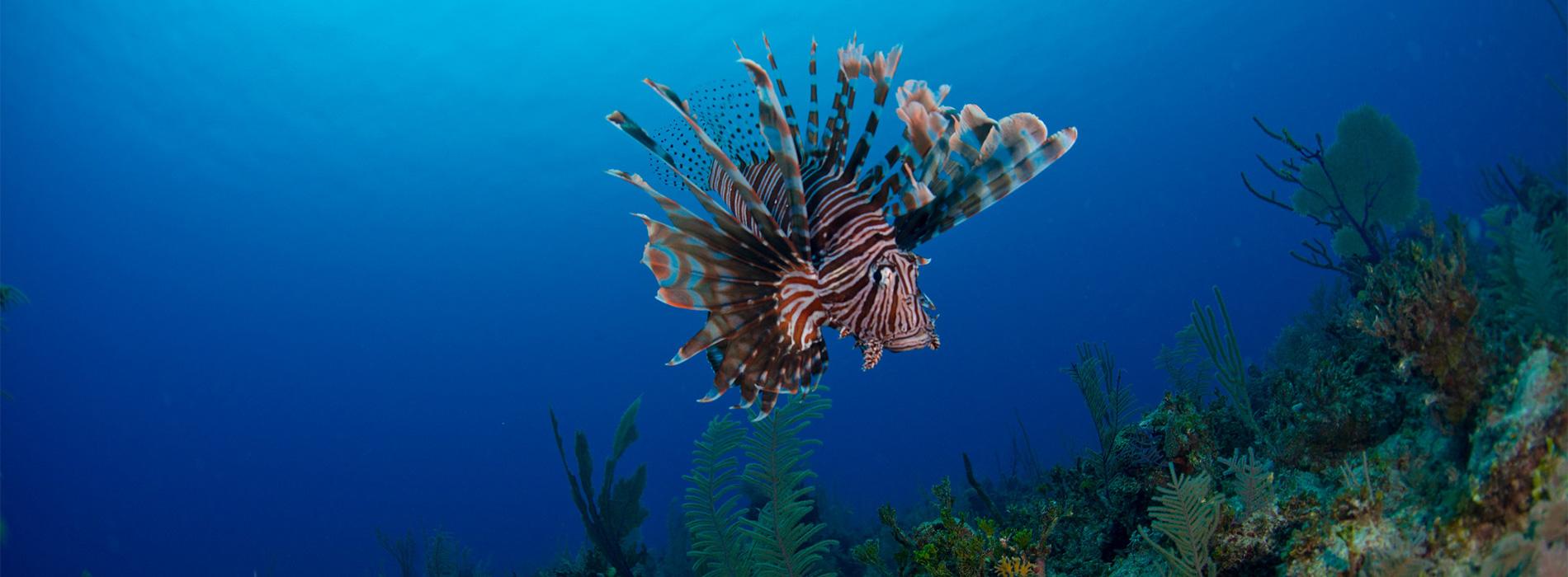 Caribbean Lionfish