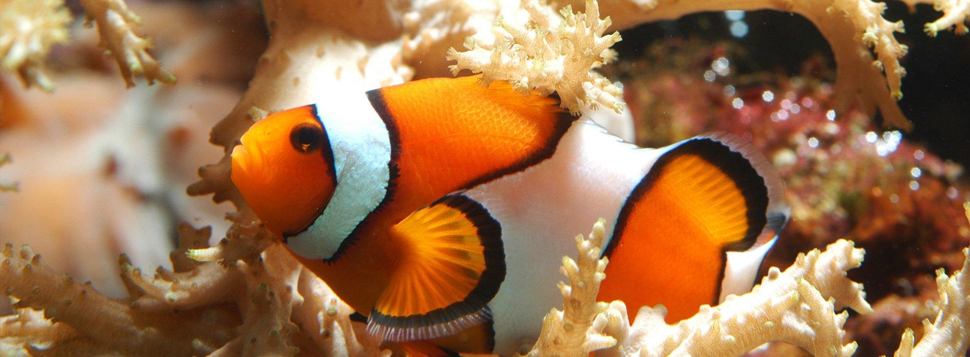 假黑小丑鱼