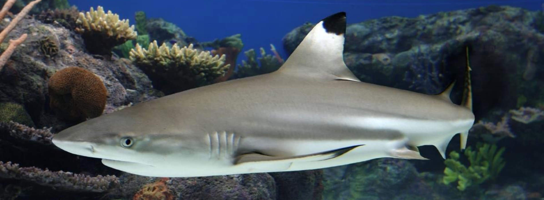 Pacific Blacktip Reef Shark
