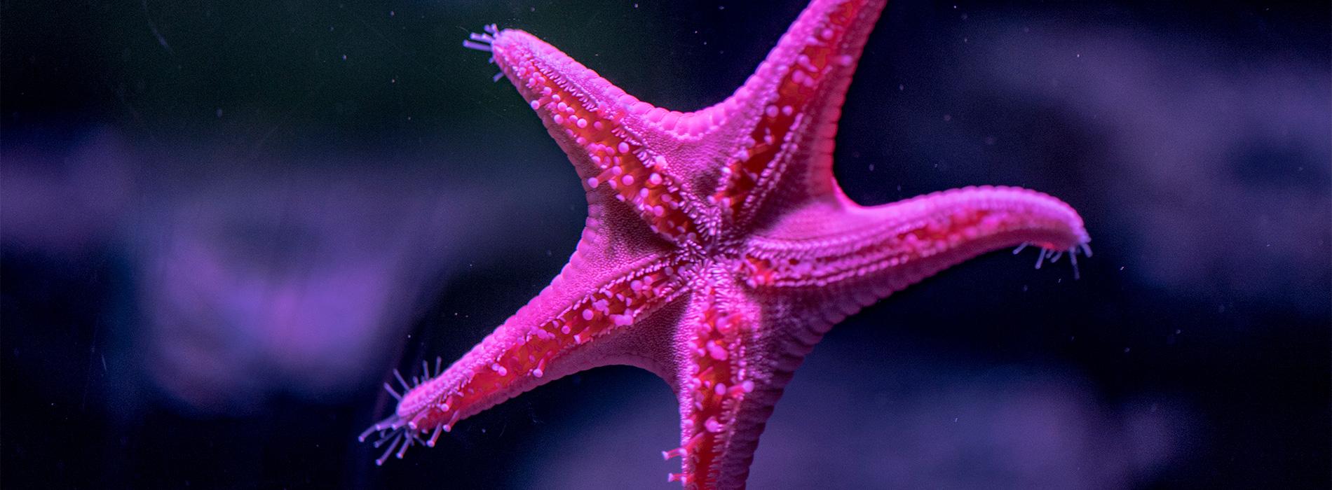 Vermillion Sea Star