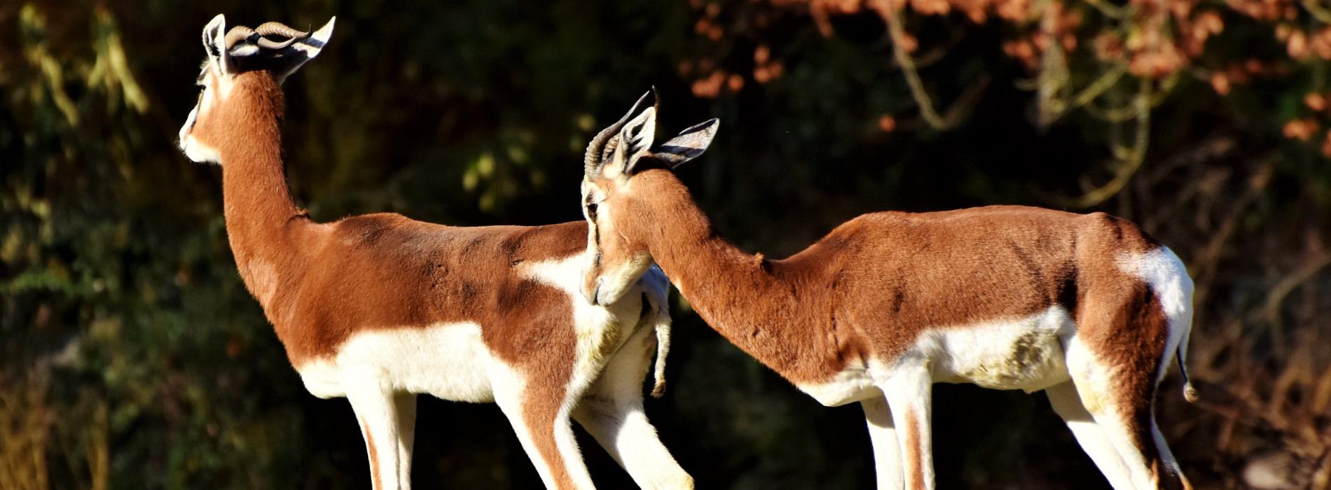 Mhorrs Gazelle