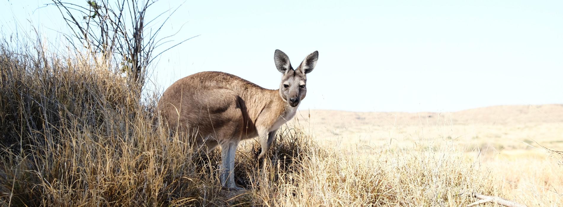Western Gray Kangaroo