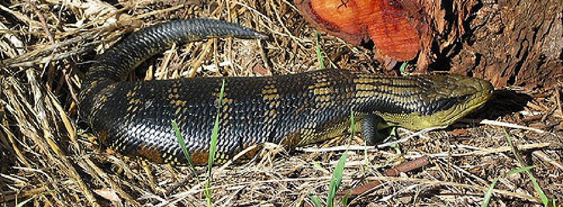 Eastern Blue Tongued Skink