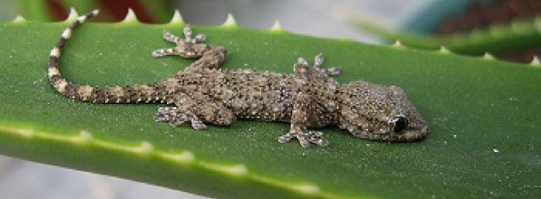 Solomon Island Gecko