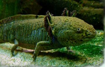 水下斑驳的绿色两栖动物有紫色头发遮住角的鳃