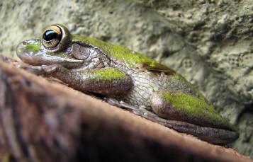 青蛙伪装板坯岩带着鼓鼓的金色eyesFrog伪装板坯岩石鼓鼓的金色的眼睛