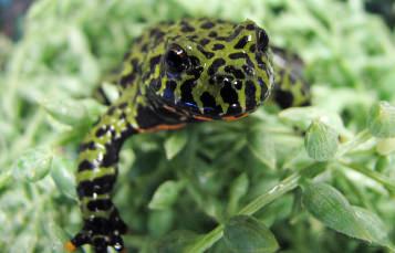 黑色斑点绿色的小青蛙与水生绿色植物红腹隐藏