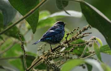 Beryl Spangled Tanager