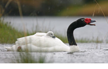 A black-necked swan swims near the edge of the water, head extended forward. A gosling is on its back.
