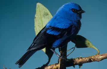 Blue and Black Tanager
