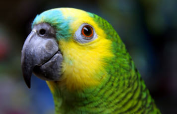 Close up of the head of a blue-fronted Amazon, showing yellow and green coloration