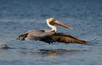 A brown pelican flies just above the surface of the water
