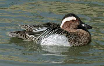 Garganey Teal