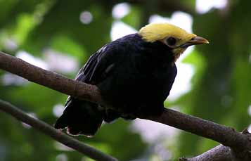 Golden crowned myna