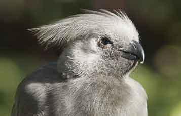 Grey Turaco