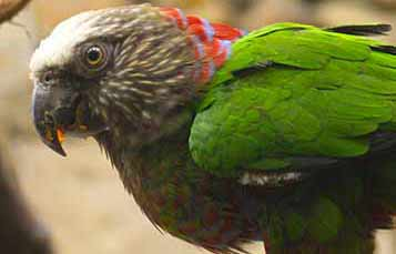 Brazilian Hawk-headed Parrot
